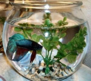 Peixe beta no aquario