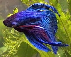 Cuidados importantes com o peixe beta
